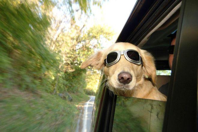 Tesla позаботится о собаках в салоне авто