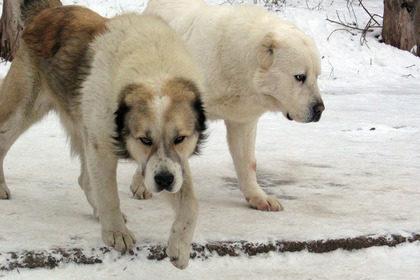 Определены лучшие породы собак для защиты владельца