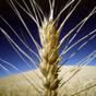 Минэкономики отчитывается о рекордном урожае зерновых, НБУ ожидает притока валюты